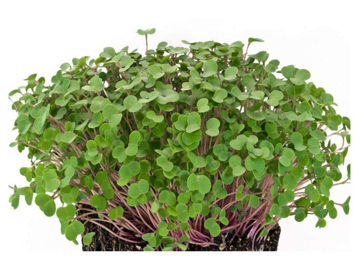 Cara Menanam Kale Microgreens