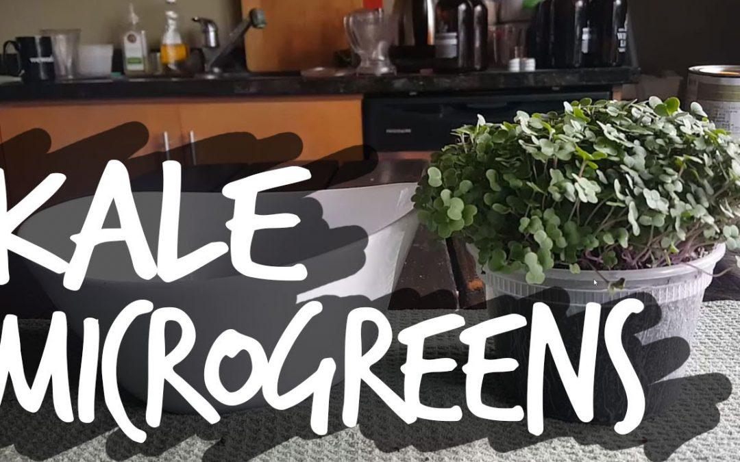 Cara Menanam Kale Microgreens Secara Cepat dan Mudah