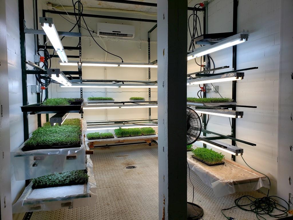 Bagaimana Mengolah Microgreens Untuk Menu Makan sehari-hari?