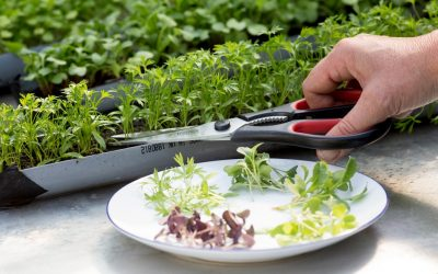 Tips Tentang Jenis Microgreens
