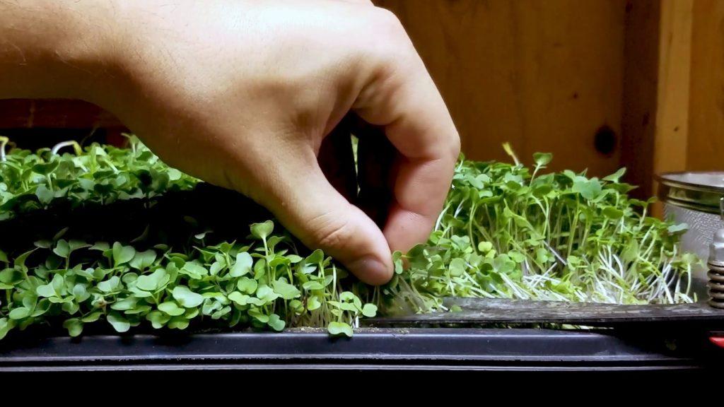 apakah pertanian microgreens