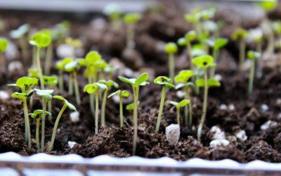 Bagaimana Cara menanam Arugula dalam 10 hari