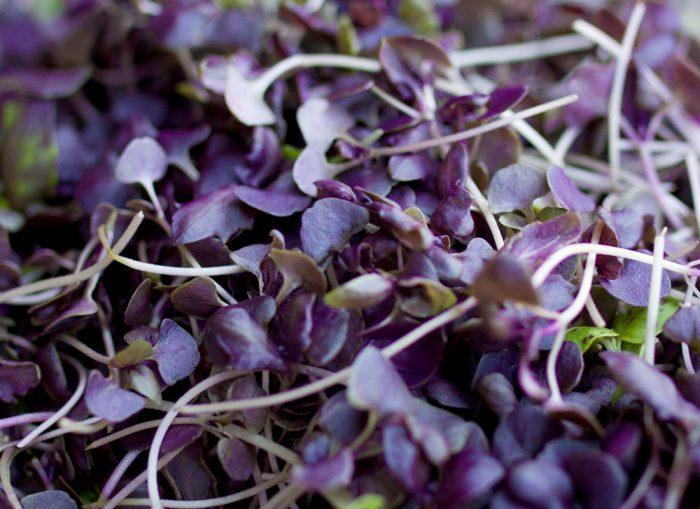 basil ungu