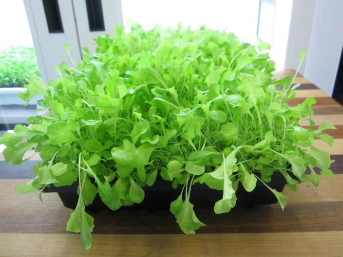 cara menaman selada microgreens