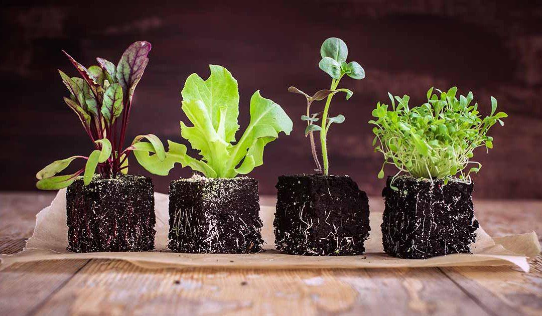 Cara Menaman Selada Microgreens Bagi Pemula