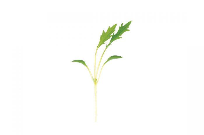 cara menanam mizuna microgreens