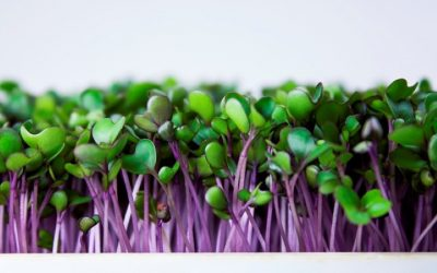 Apakah Anda Pernah Mencoba Kohlrabi Ungu Microgreens?