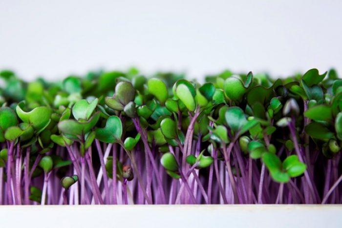 kohlrabi ungu microgreens