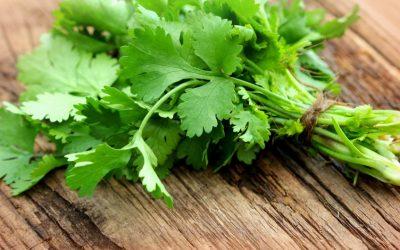 5 Manfaat Cilantro Microgreens