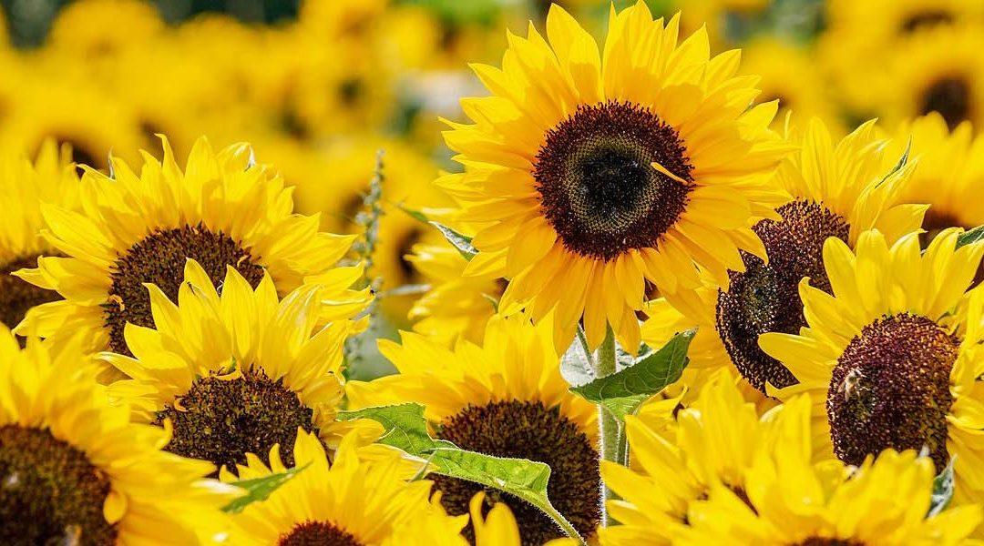 7 Manfaat Microgreens Bunga Matahari