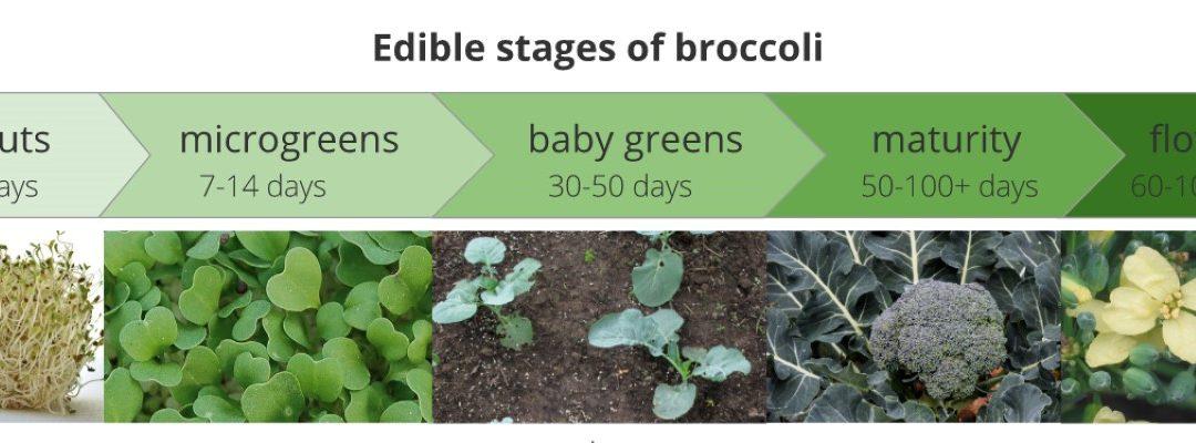 Manfaat Utama Brokoli Microgreens Yang Perlu Anda Ketahui