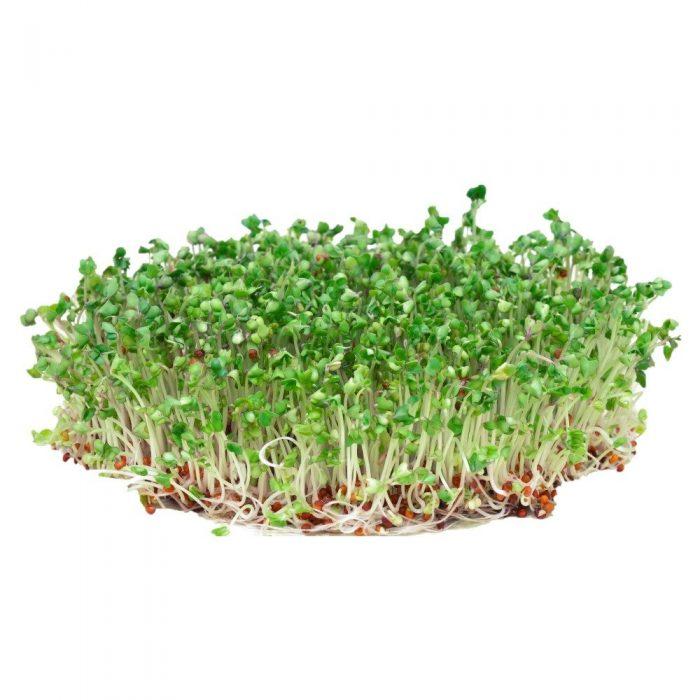 manfaat utama brokoli microgreens