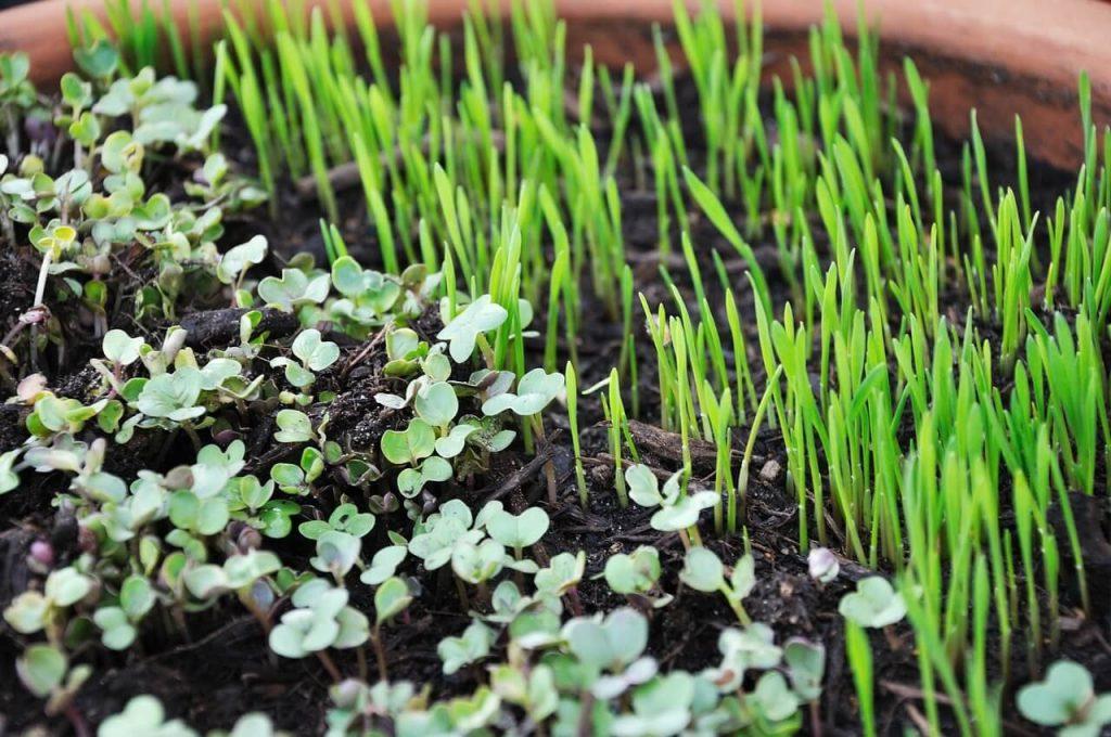 menanam microgreens