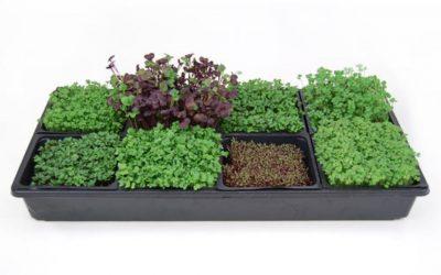 Apakah Microgreens Lebih Baik Daripada Sayuran Biasa?