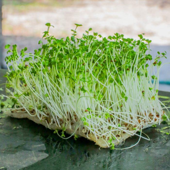microgreens yang wajib dicoba
