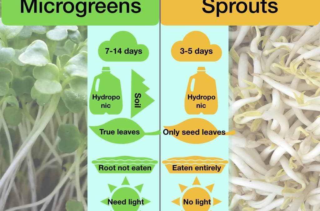 Fakta Menarik tentang Perbedaan Kecambah dan Microgreens