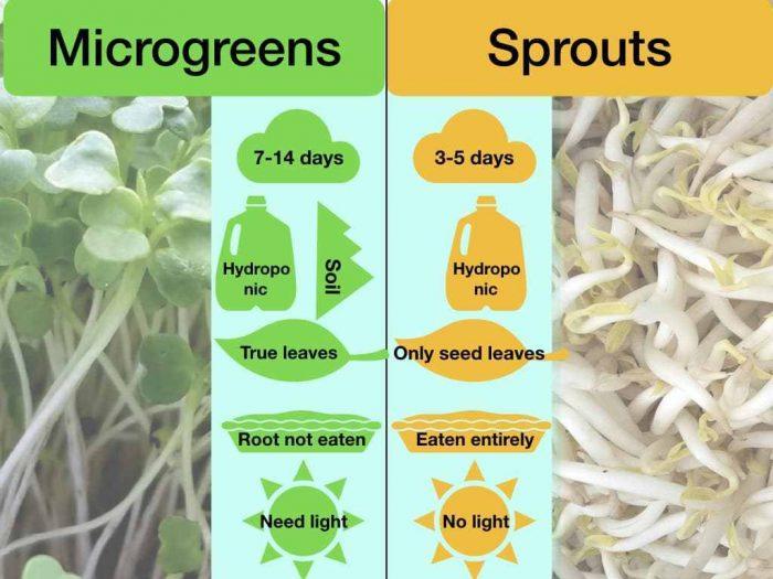 perbedaan kecambah dan microgreens