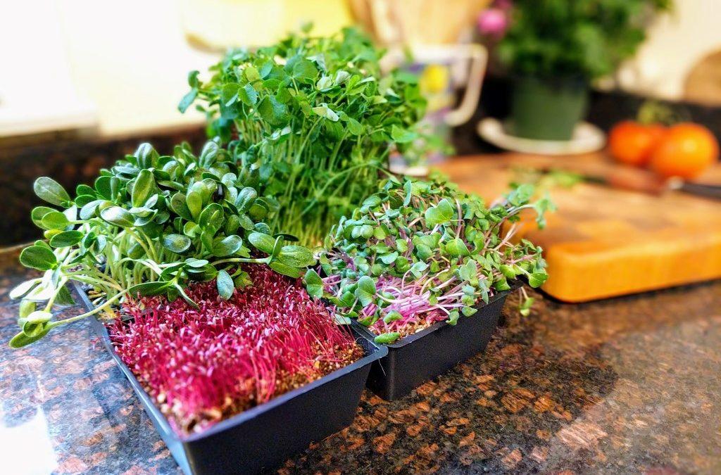 Top 10 Microgreens Dengan Sejuta Nutrisi