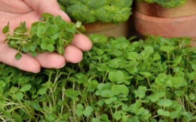 Lebih Sehat Brokoli Microgreens atau Kepala Brokoli?
