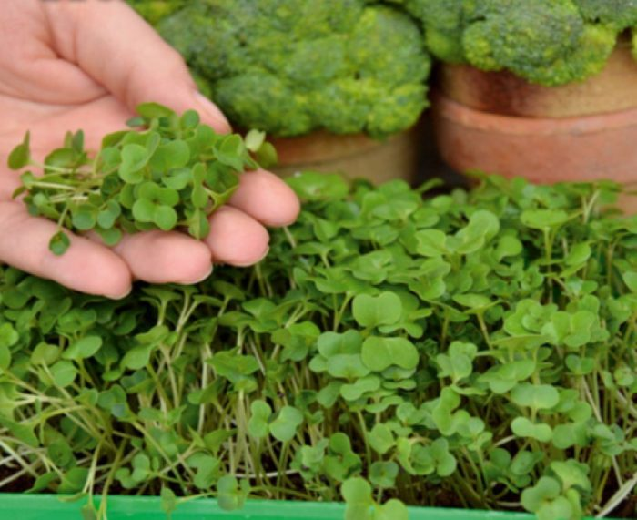 brokoli microgreens