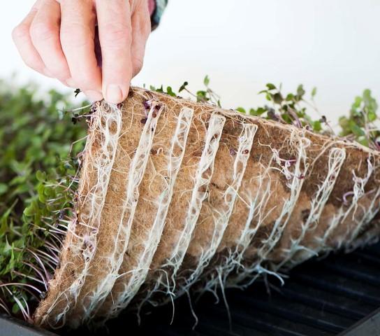 cara menumbuhkan microgreens