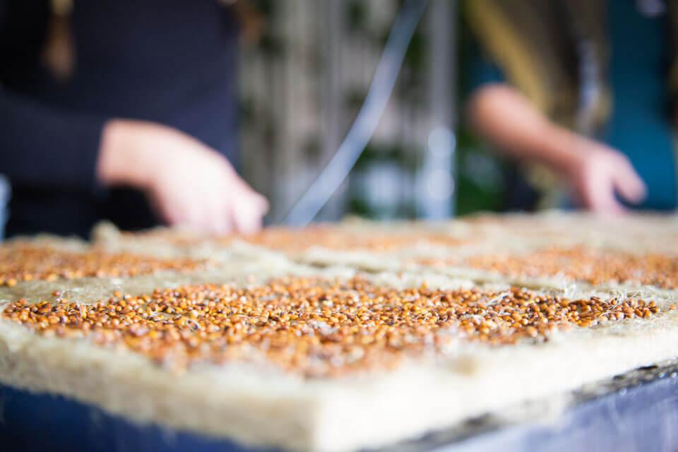Cara Menumbuhkan Microgreens Dalam Baki
