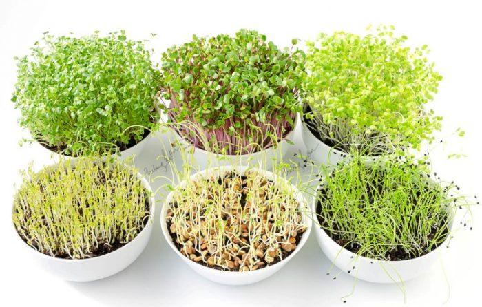 sayuran mini